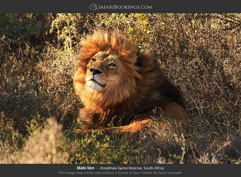 Male lion in Amakhala Game Reserve, South Africa