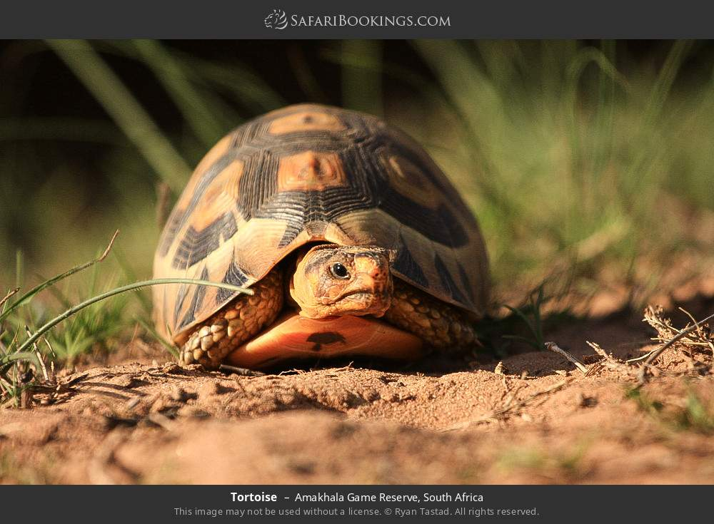 Tortoise in Amakhala Game Reserve, South Africa