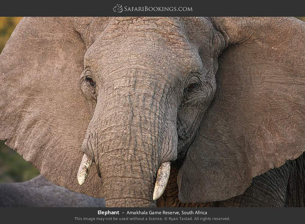 Elephant in Amakhala Game Reserve, South Africa