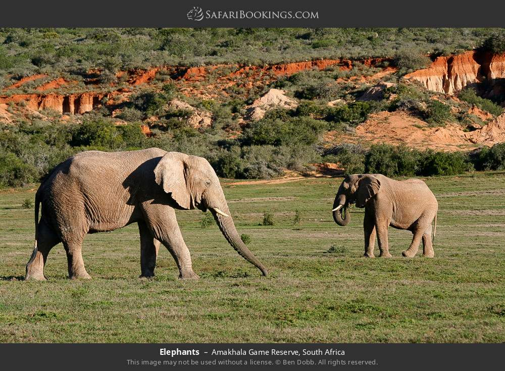 Elephants in Amakhala Game Reserve, South Africa