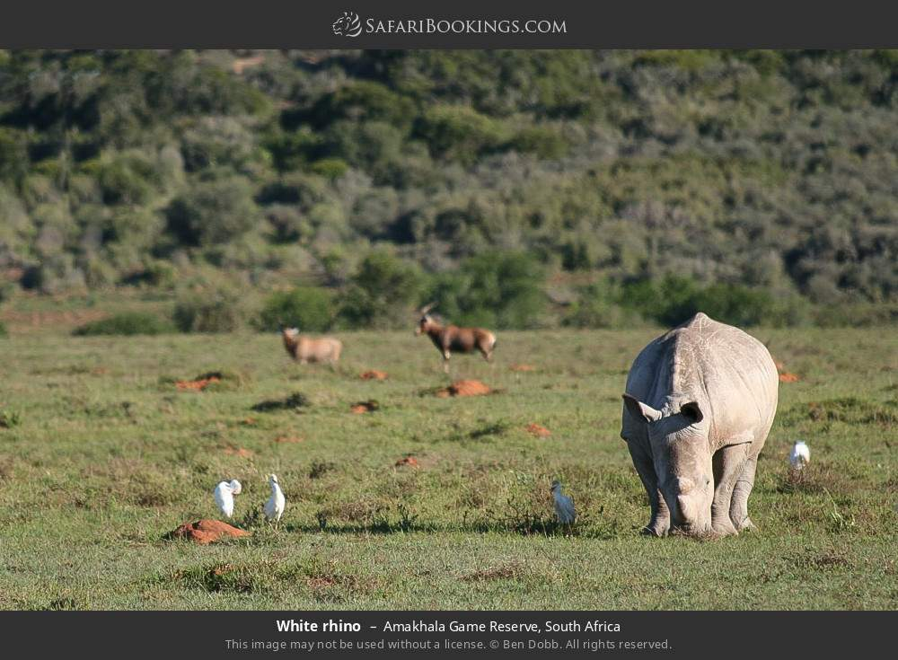 White rhino in Amakhala Game Reserve, South Africa