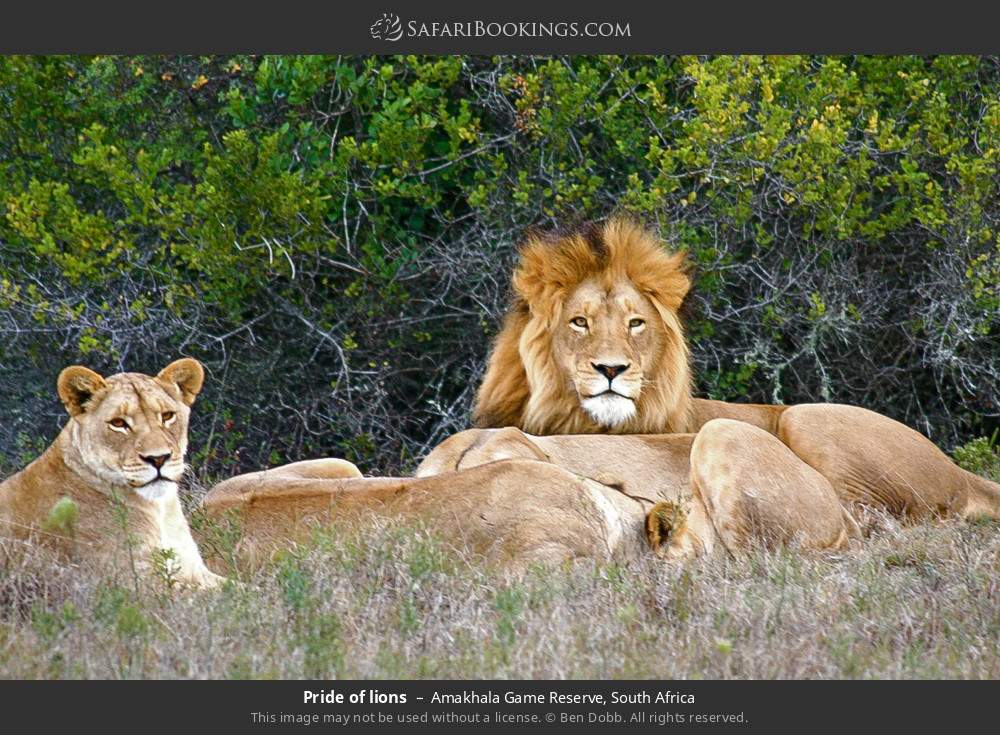 Pride of lions in Amakhala Game Reserve, South Africa