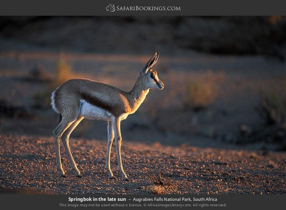 Springbok in the late sun in Augrabies Falls National Park, South Africa