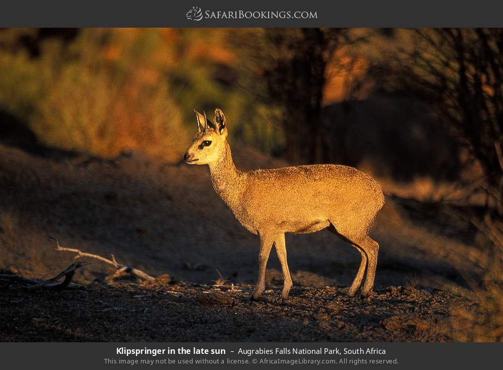 Klipspringer in the late sun in Augrabies Falls National Park, South Africa