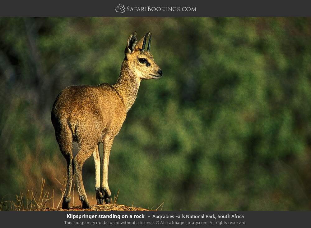 Klipspringer standing on a rock in Augrabies Falls National Park, South Africa