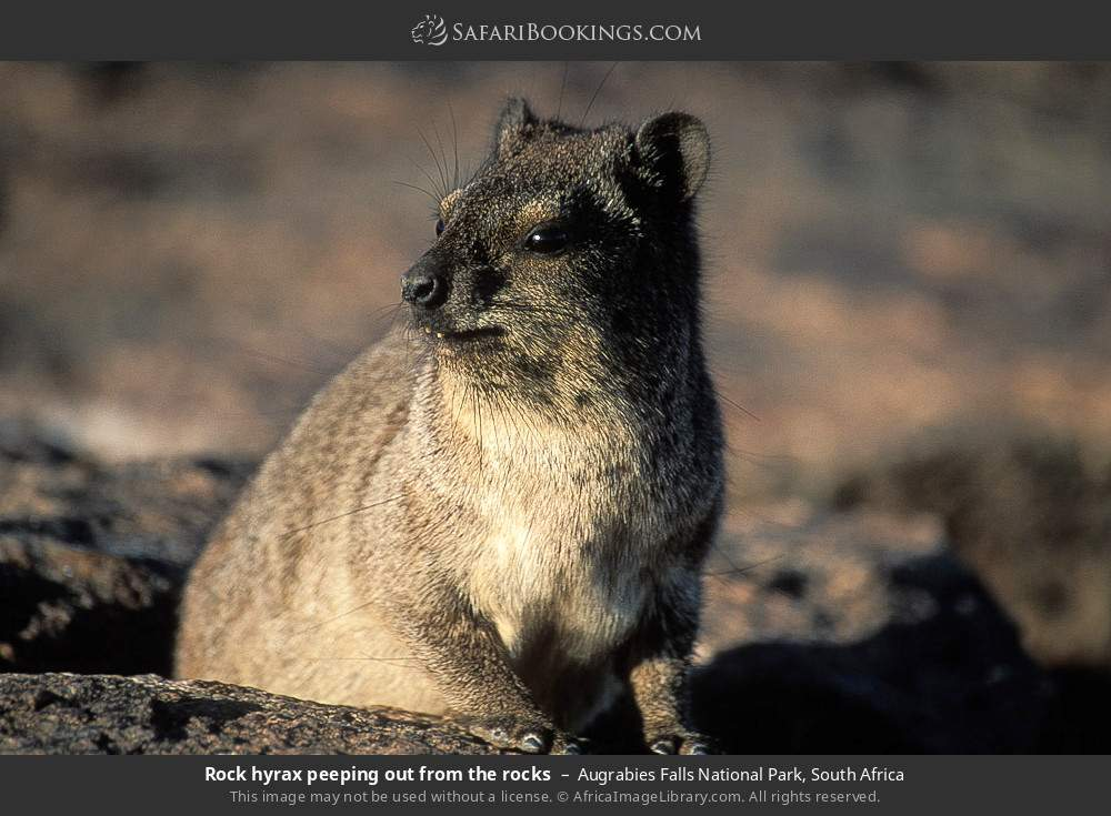 Rock hyrax peeping out from the rocks in Augrabies Falls National Park, South Africa