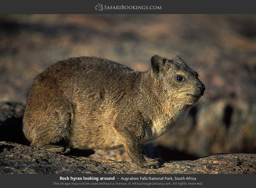Rock hyrax looking around in Augrabies Falls National Park, South Africa