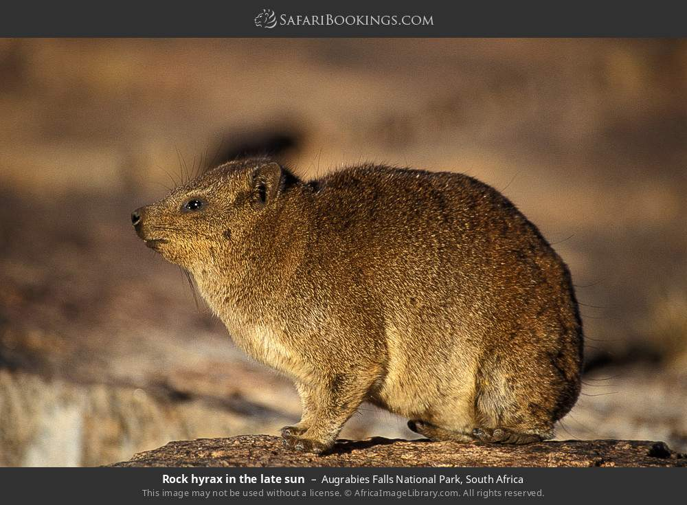 Rock hyrax in the late sun in Augrabies Falls National Park, South Africa