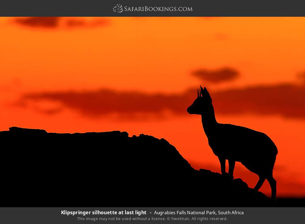 Klipspringer silhouette at last light in Augrabies Falls National Park, South Africa
