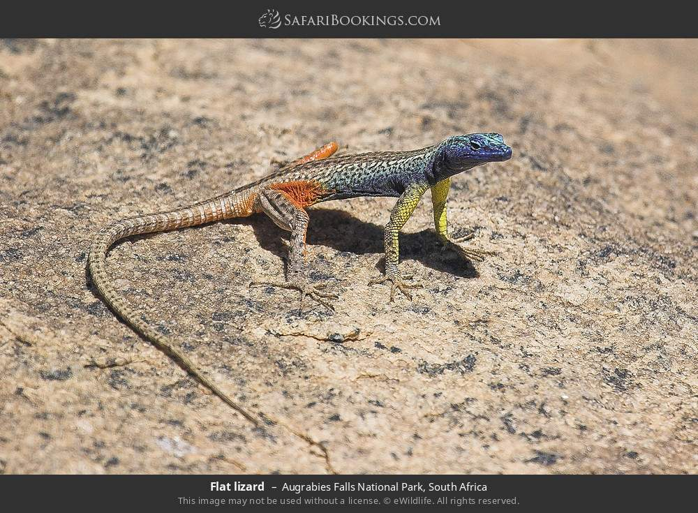 Flat lizard in Augrabies Falls National Park, South Africa