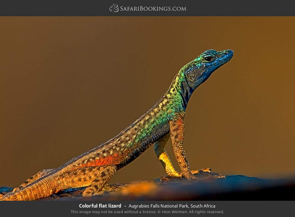 Colorful flat lizard in Augrabies Falls National Park, South Africa