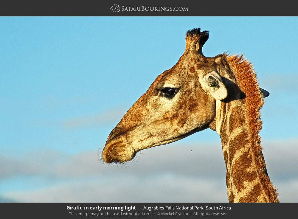 Giraffe in early morning light in Augrabies Falls National Park, South Africa