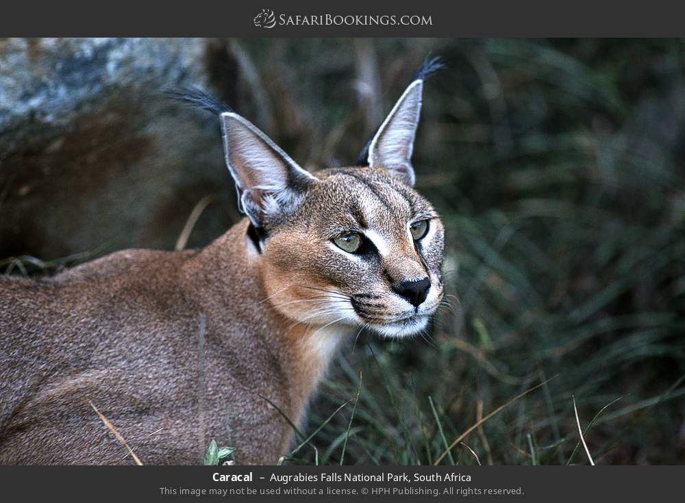 Caracal in Augrabies Falls National Park, South Africa