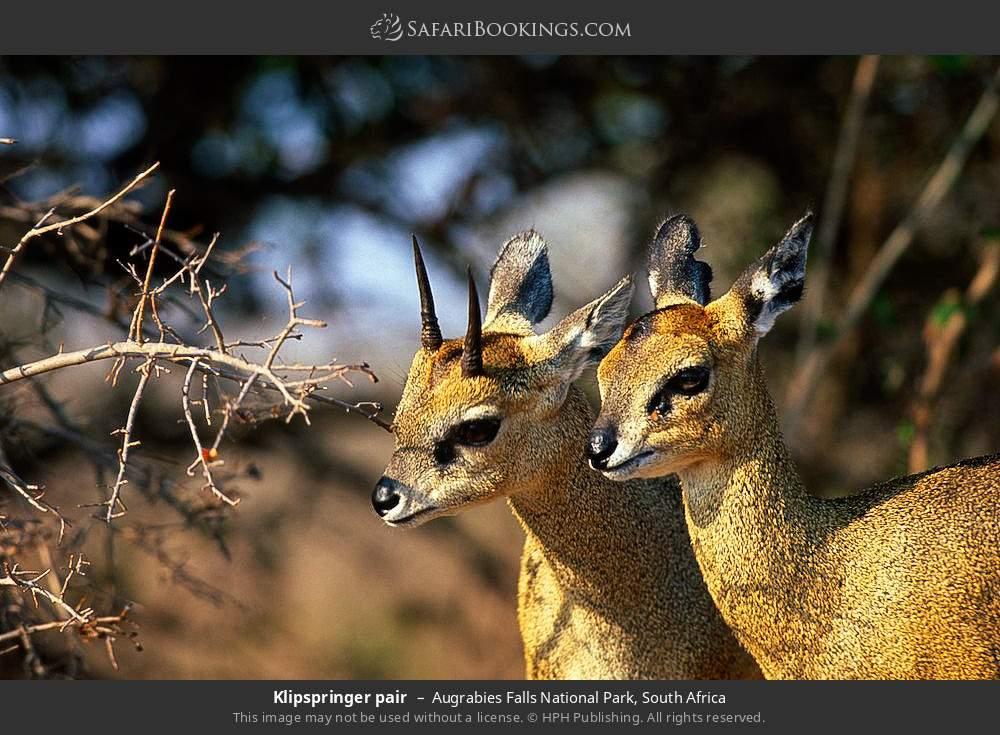 Klipspringer pair in Augrabies Falls National Park, South Africa