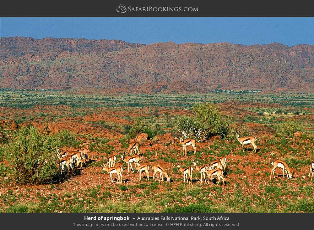 Herd of springbok in Augrabies Falls National Park, South Africa