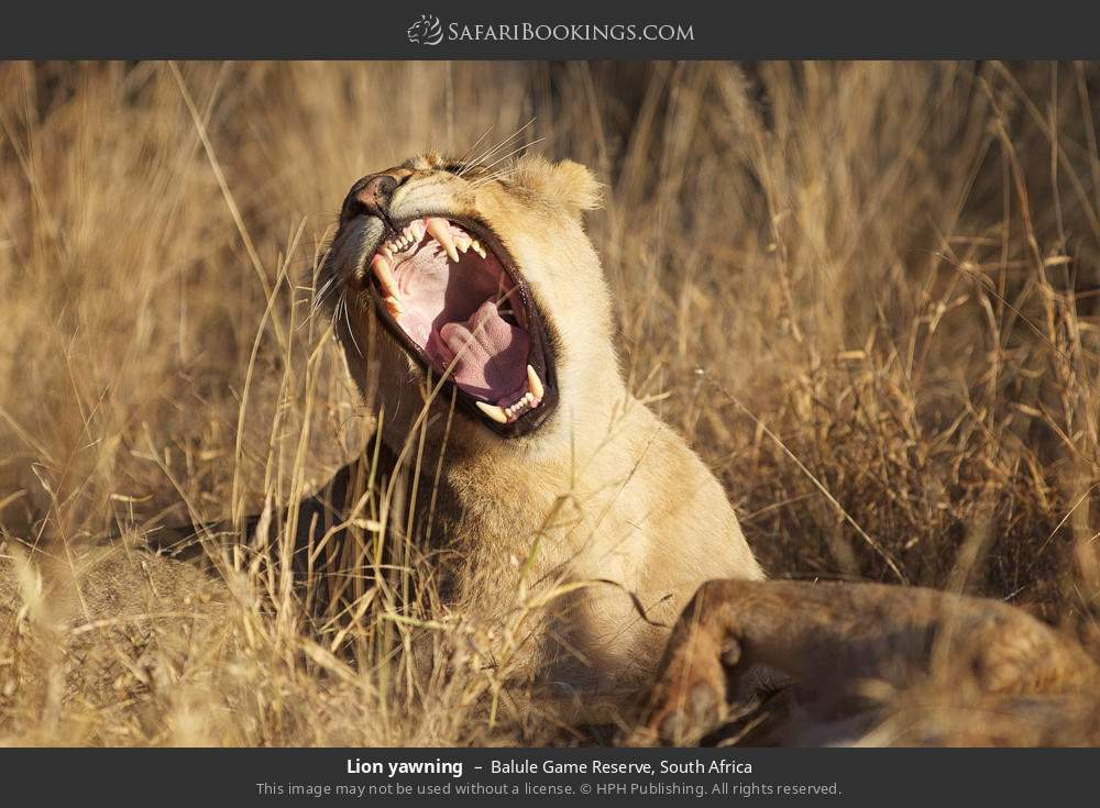 Lion yawning in Balule Game Reserve, South Africa