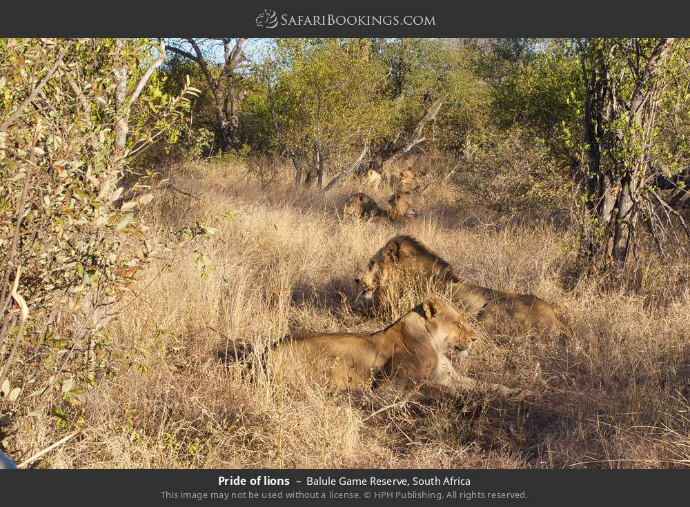 Pride of lions in Balule Game Reserve, South Africa