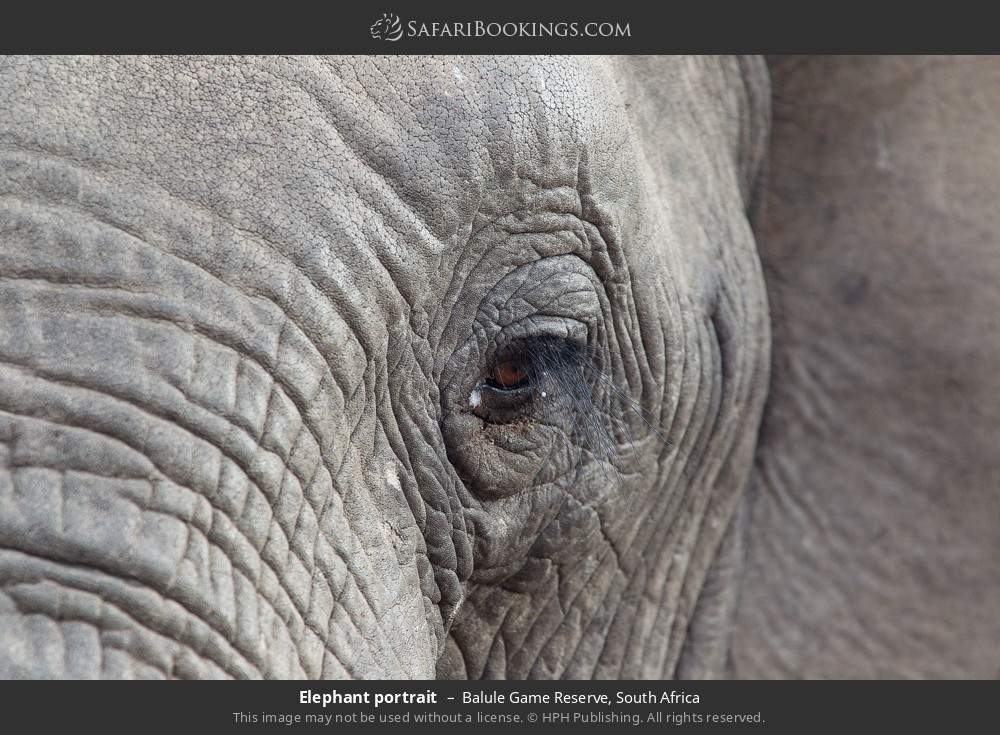 Elephant portrait in Balule Game Reserve, South Africa