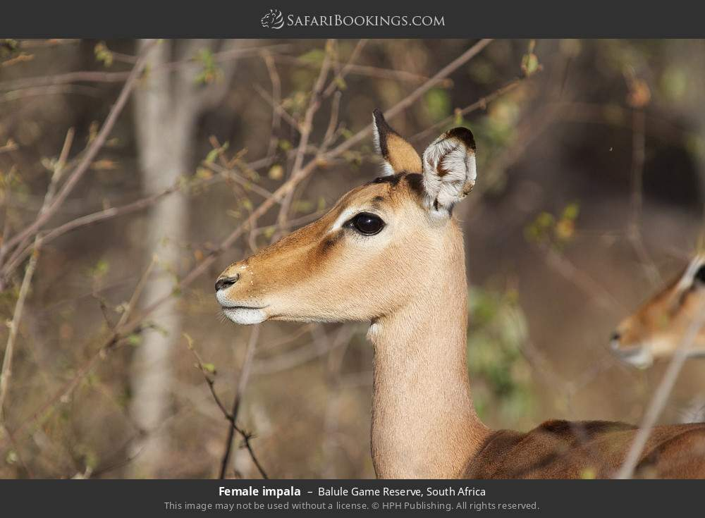 Female impala in Balule Game Reserve, South Africa