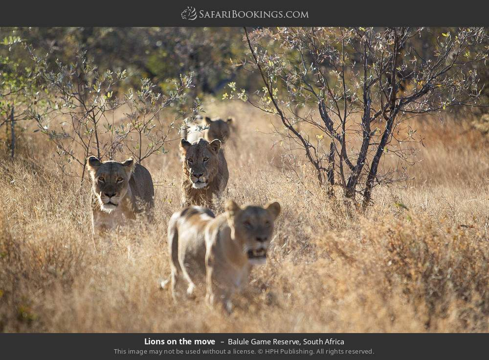 Lions on the move in Balule Game Reserve, South Africa