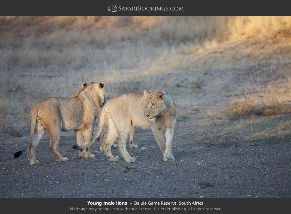 Young male lions in Balule Game Reserve, South Africa