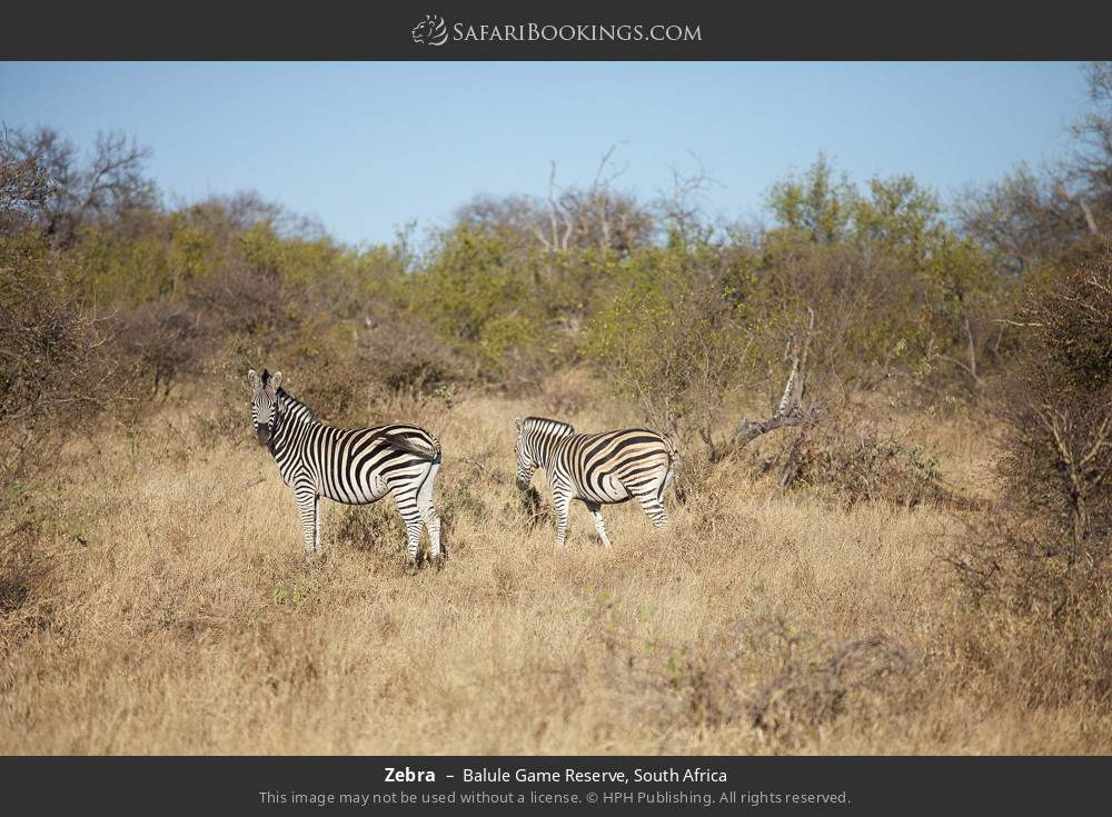 Zebra in Balule Game Reserve, South Africa