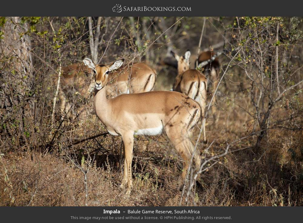 Impala in Balule Game Reserve, South Africa