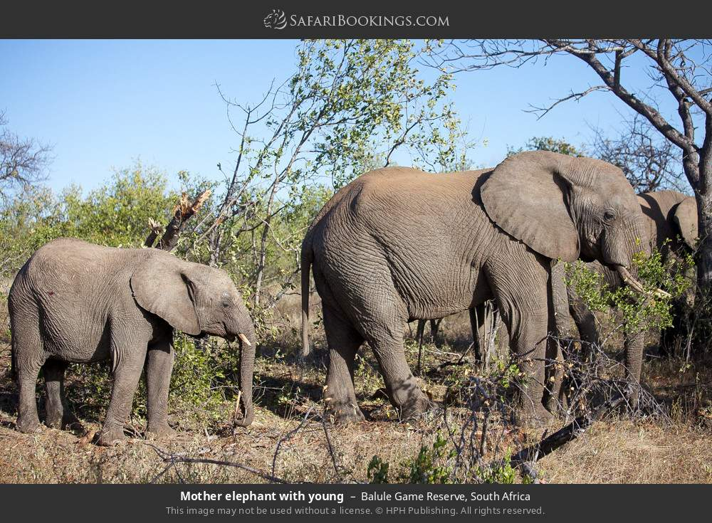 Mother elephant with young in Balule Game Reserve, South Africa