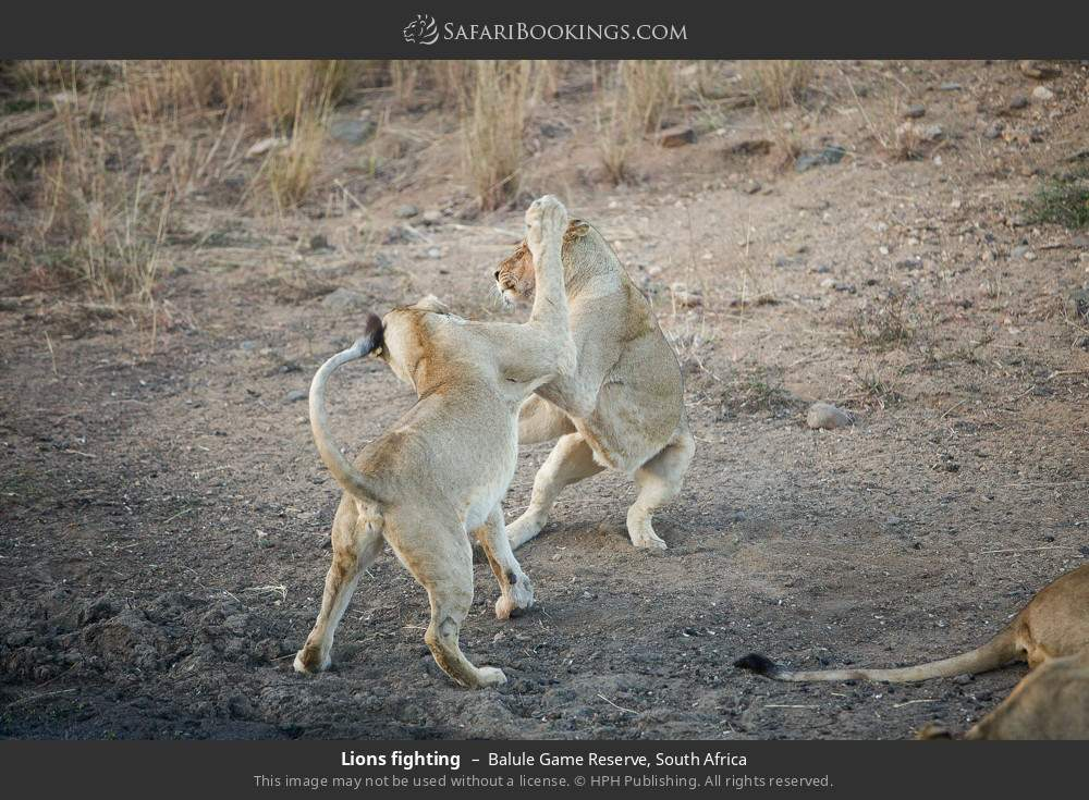 Lions fighting in Balule Game Reserve, South Africa