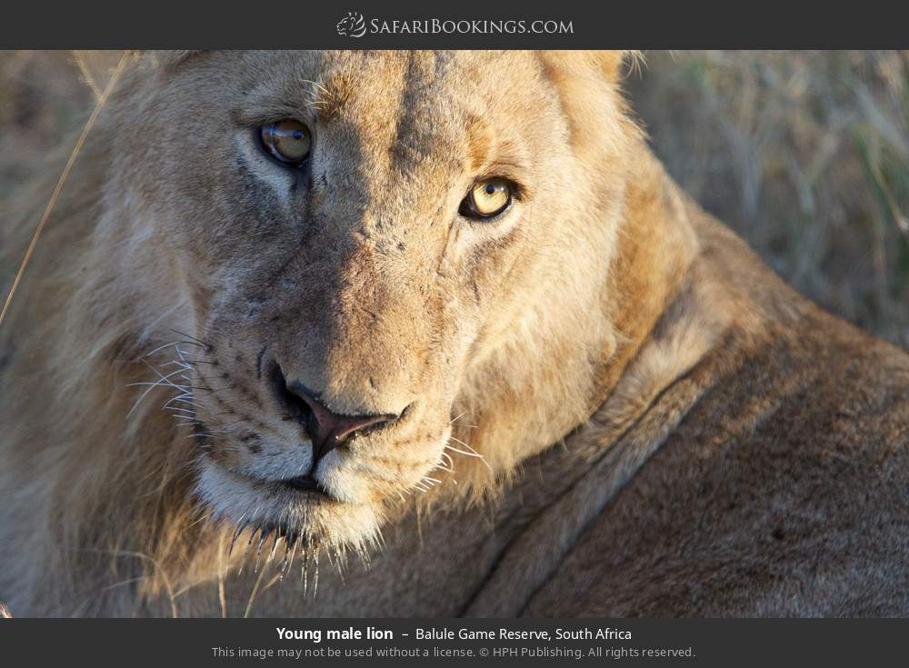 Young male lion in Balule Game Reserve, South Africa