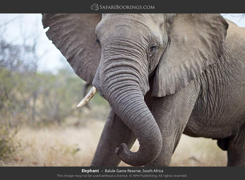 Elephant in Balule Game Reserve, South Africa