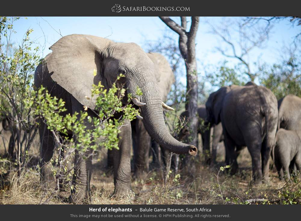Herd of elephants in Balule Game Reserve, South Africa