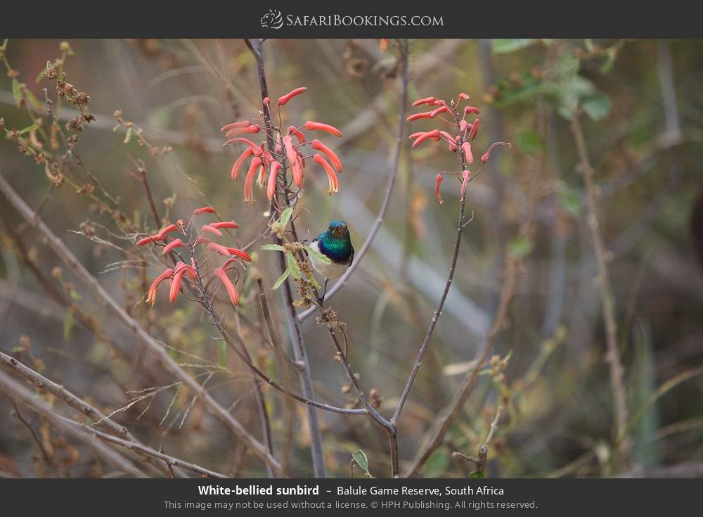 White-bellied sunbird in Balule Game Reserve, South Africa