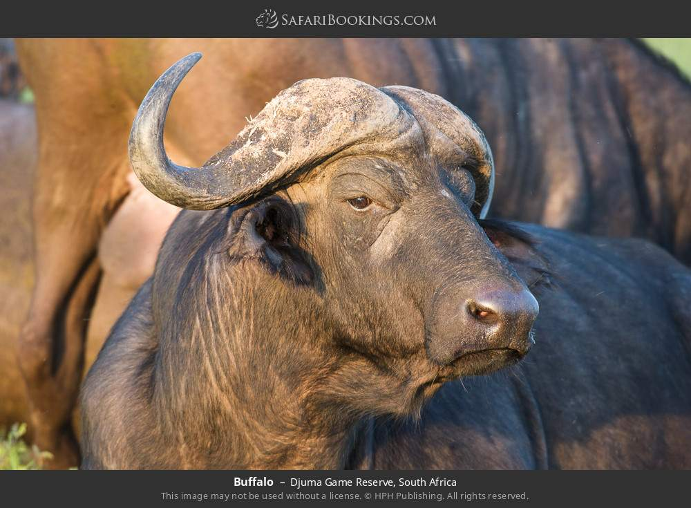Buffalo in Djuma Game Reserve, South Africa