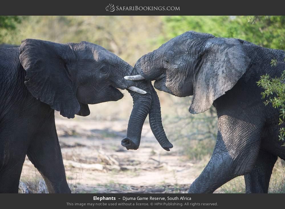 Elephants in Djuma Game Reserve, South Africa