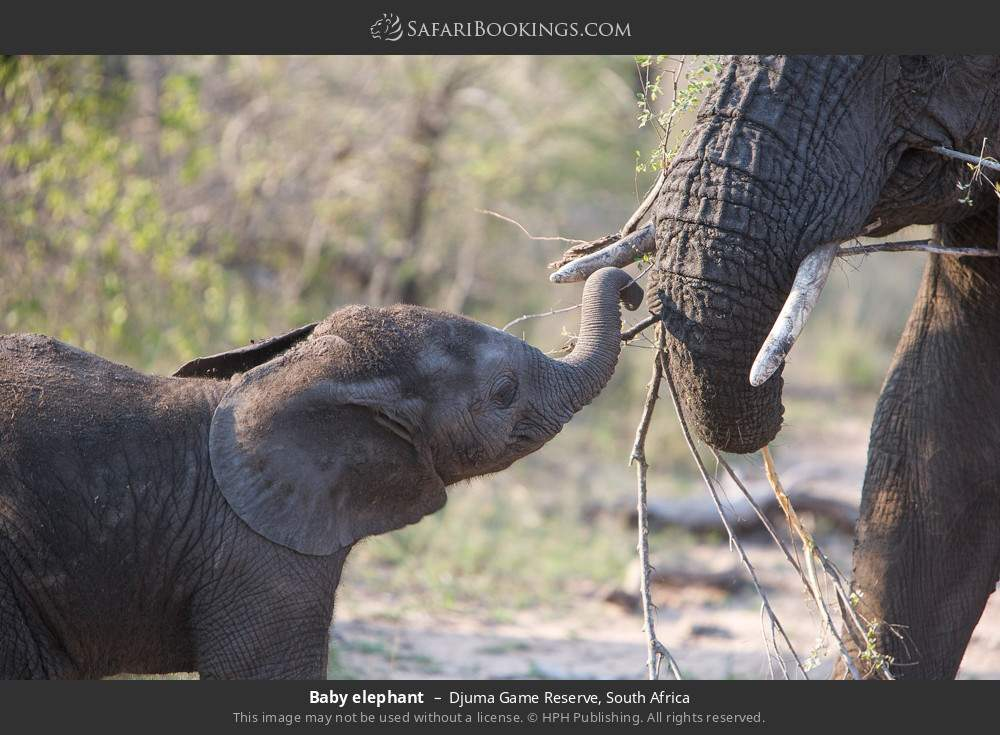 Baby elephant in Djuma Game Reserve, South Africa