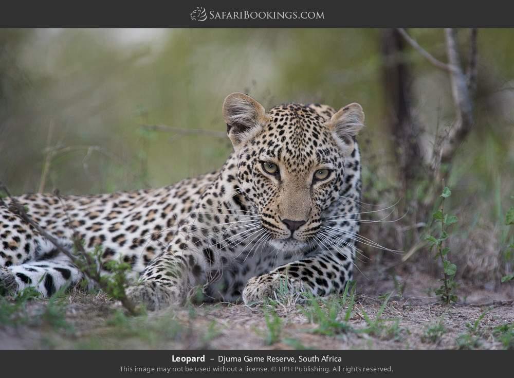 Leopard in Djuma Game Reserve, South Africa