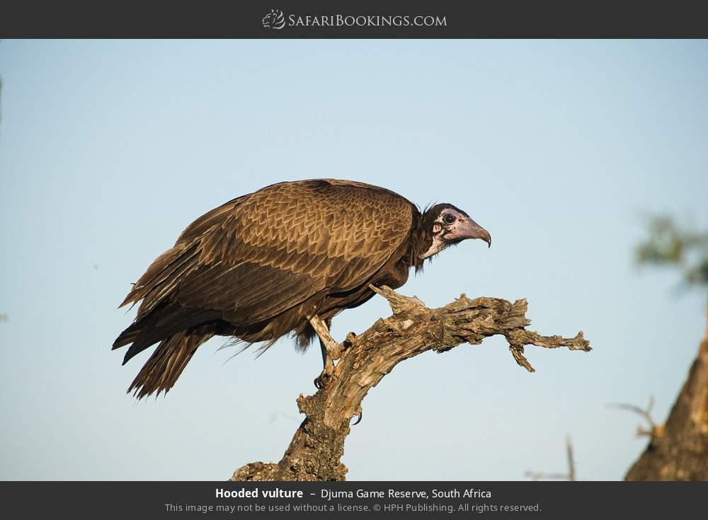 Hooded vulture in Djuma Game Reserve, South Africa
