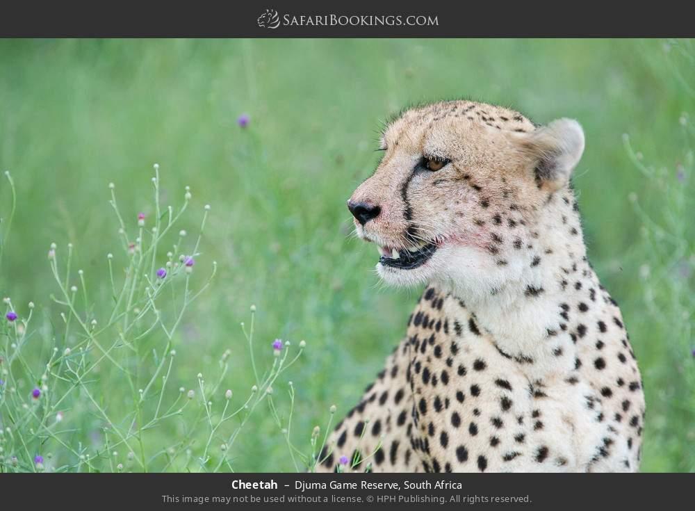Cheetah in Djuma Game Reserve, South Africa