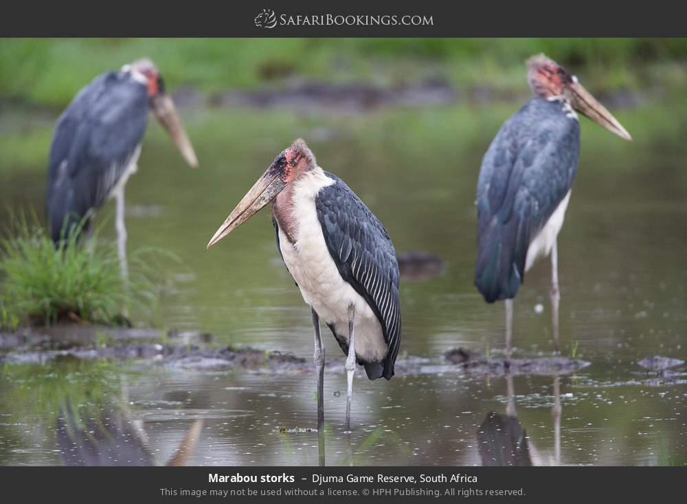 Marabou storks in Djuma Game Reserve, South Africa