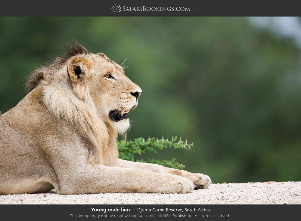 Young male lion in Djuma Game Reserve, South Africa