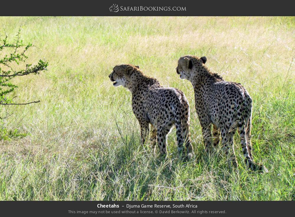 Cheetahs in Djuma Game Reserve, South Africa