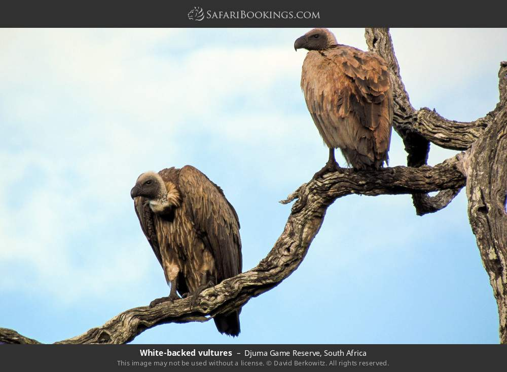 White-backed vultures in Djuma Game Reserve, South Africa
