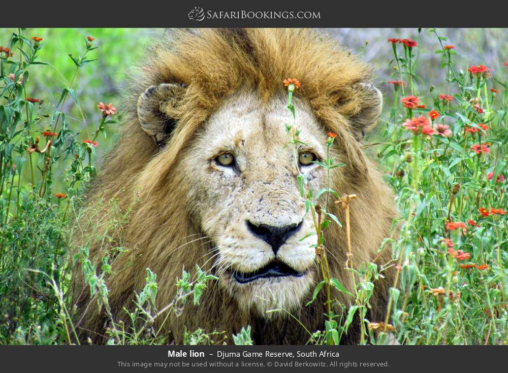 Male lion in Djuma Game Reserve, South Africa