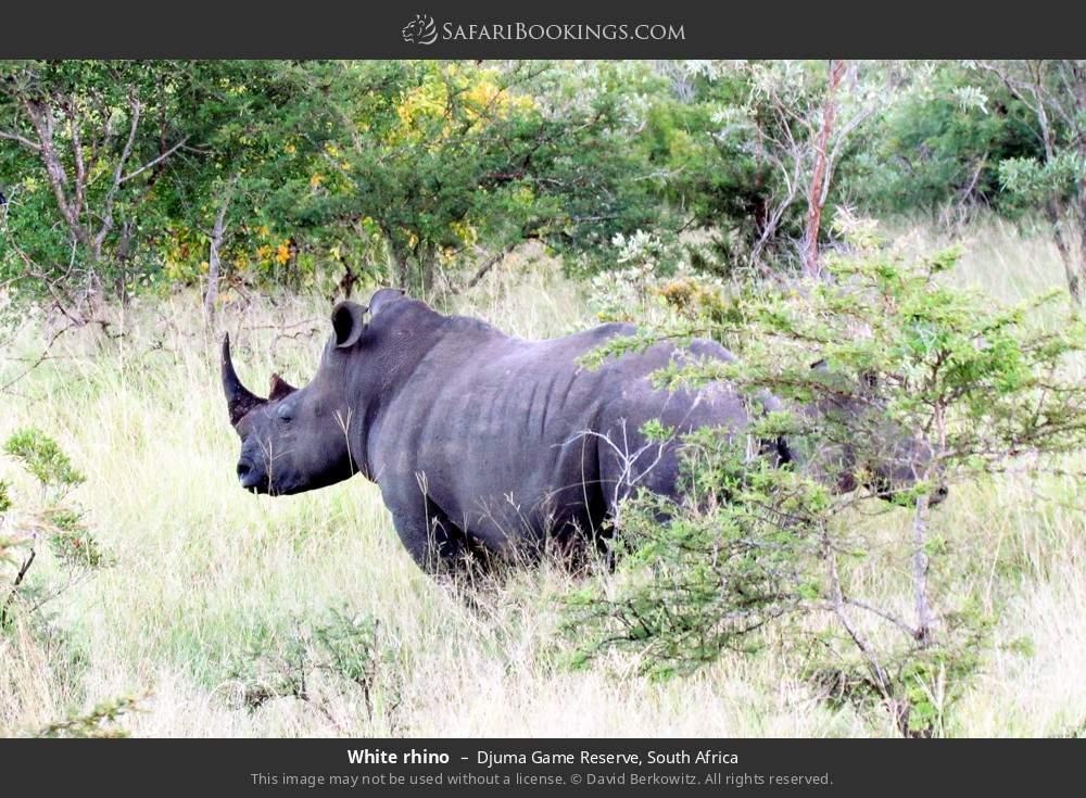 White rhino in Djuma Game Reserve, South Africa