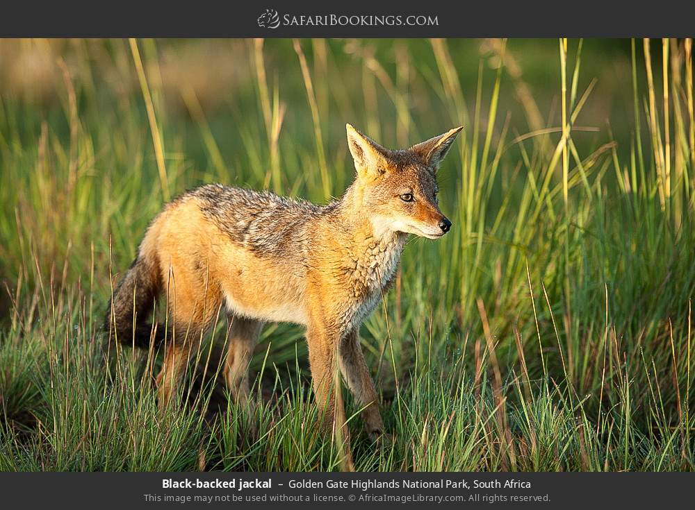 Black-backed jackal in Golden Gate Highlands National Park, South Africa