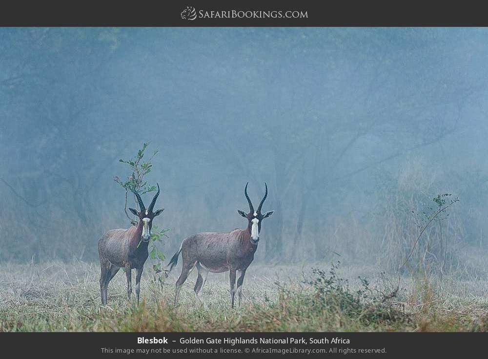 Blesbok in Golden Gate Highlands National Park, South Africa