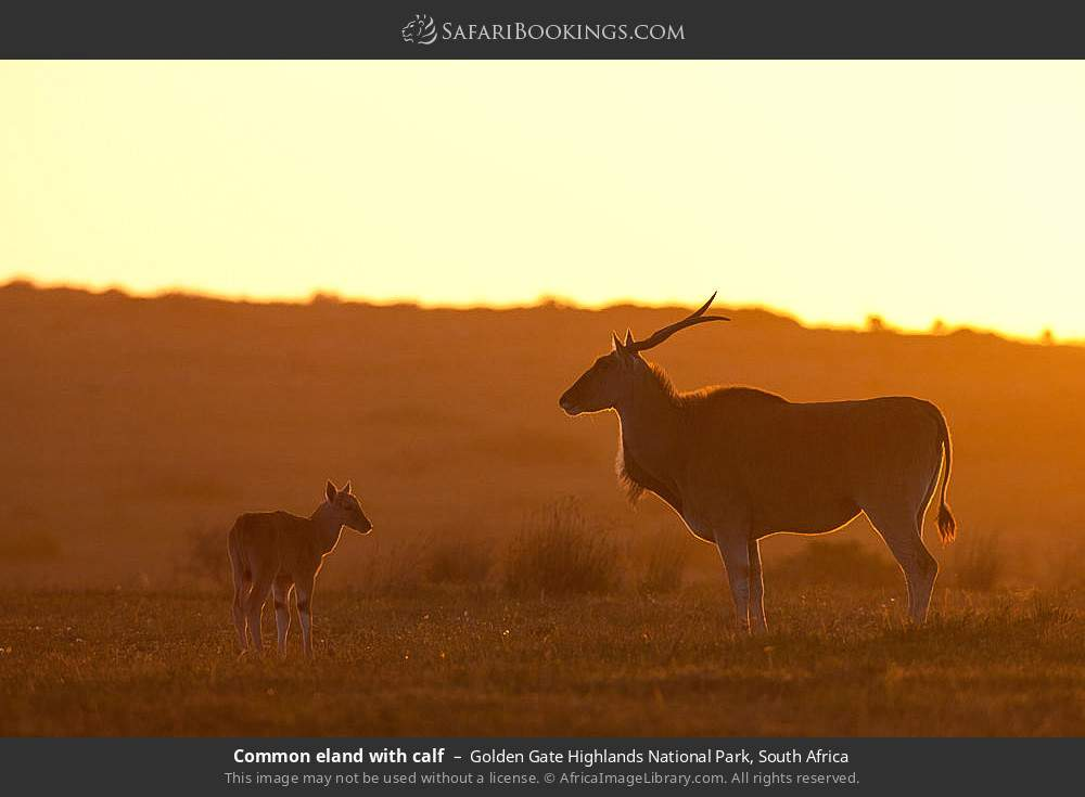 Common Eland with Calf in Golden Gate Highlands National Park, South Africa