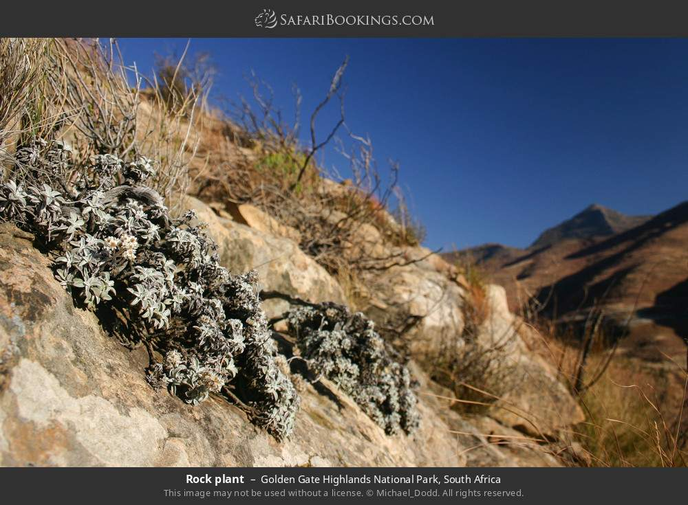 Rock plant in Golden Gate Highlands National Park, South Africa