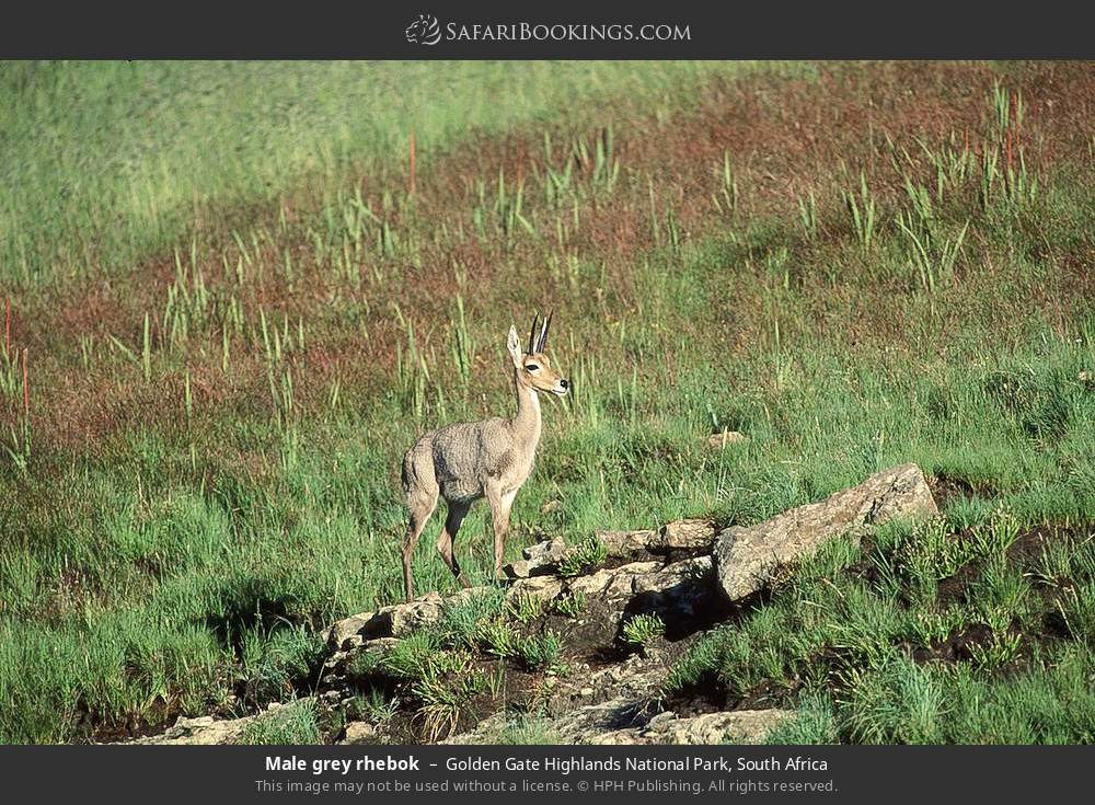 Male grey rhebok in Golden Gate Highlands National Park, South Africa